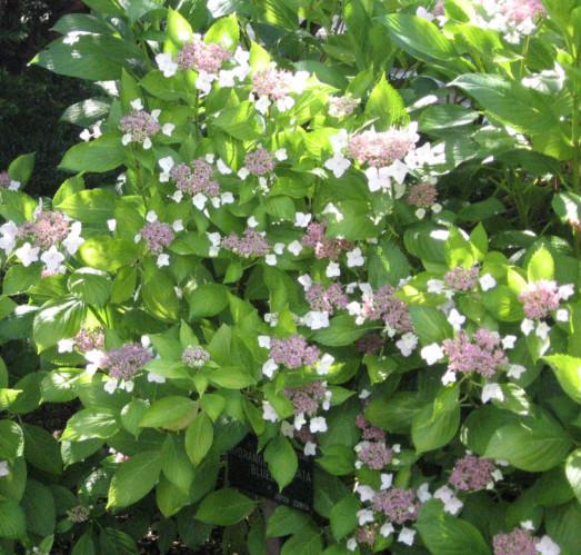 40 Soorten hortensia Hydrangea voor bloemen in de tuin
