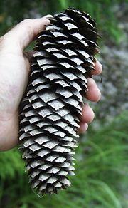 أنواع وتصنيف معراة البذور 180px-Picea_abies_co