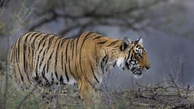 बाघकाे आक्रमण गर्दा बर्दियामा   एक महिलाको मृत्यु