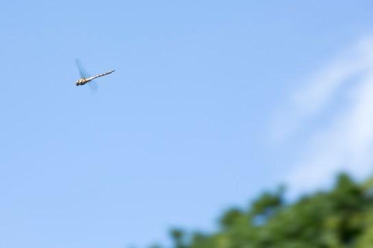 photo: Dragonfly mid flight, British photographer m-yescombe-040813-050-sml