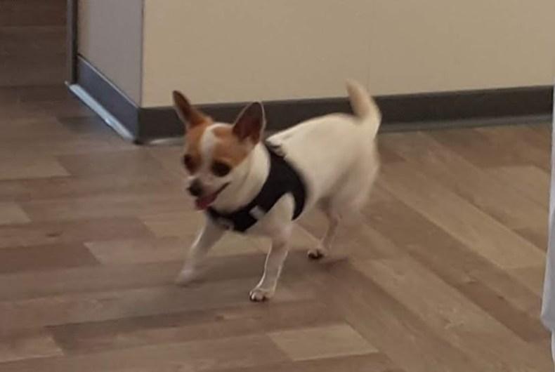 Chihuahua-angriff