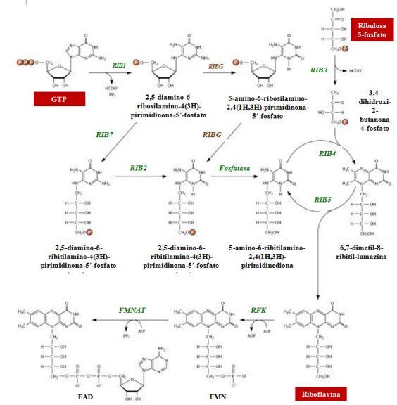 VitaminaB2_BioProductos_Biotecnologia_Maria_Iranzo_Biotec