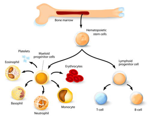 Stem Cells and Bone Marrow