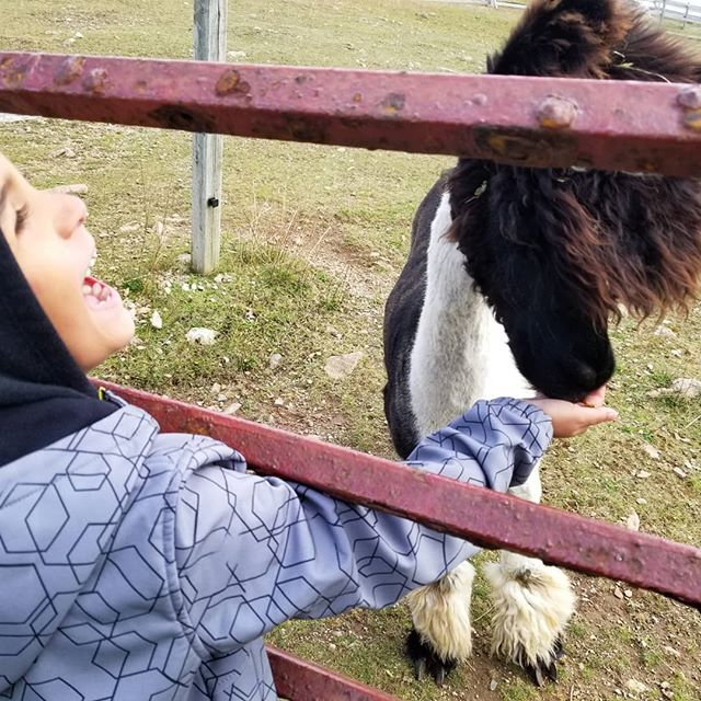 boy feeding an alpaca at Alpacas of Newfoundland farm