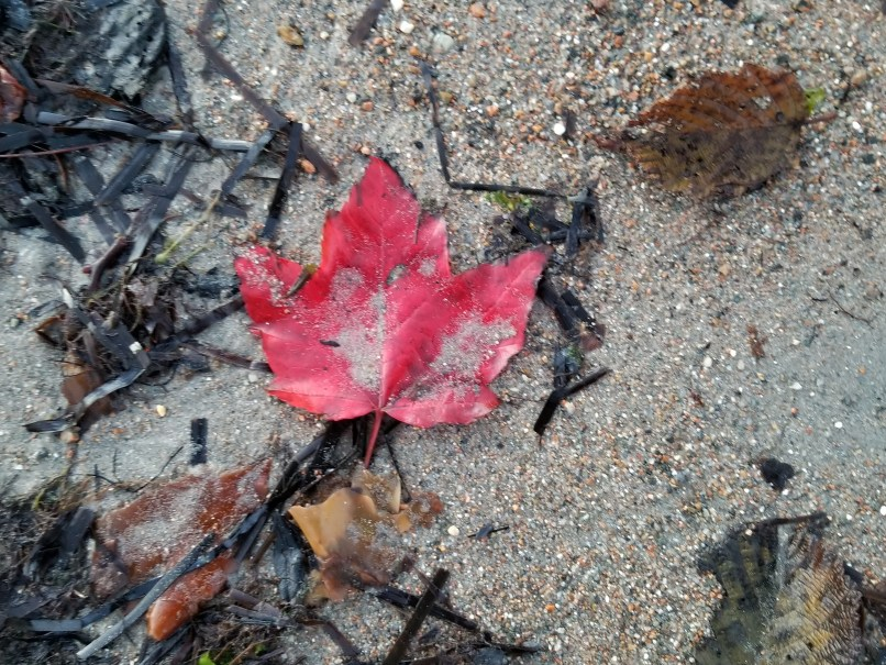 red maple leaf on sand at Seal Cove, Acadia National Park