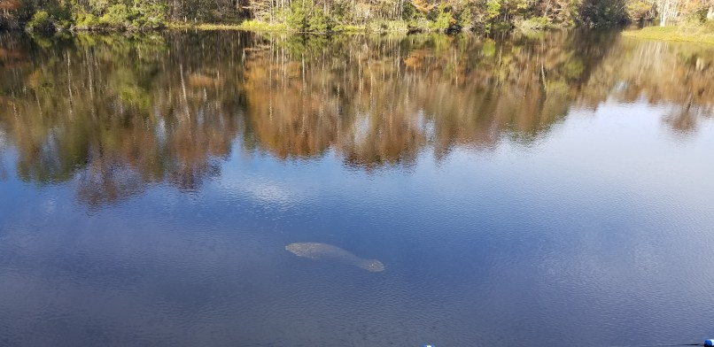 Manatee at Wakulla Springs-, Florida, as seen from the dive tower