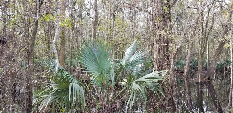 Palm leaves in front of trees at Cypress Island Preserve in Lake Martin, L ouisiana