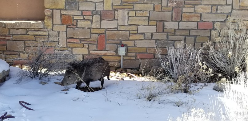 javelina at Grand Canyon National Park. The animal is walking in the snow. Behind it is the outside brick wall of the visitor's center.
