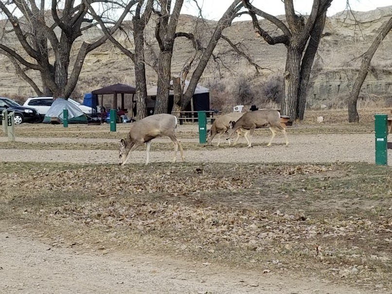 Three deer feed on grass at the campground at Dinosaur Provincial Park