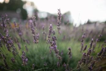 Marianmade-Farm-Lavender