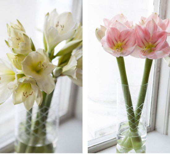 Blomster stell amaryllis
