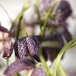 Blomstene som tåler frost og kulde
