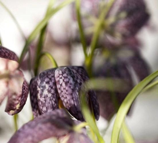Plantene som tåler kuldegrader - rutelilje