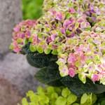 Hortensia som stueplante, uteplante og snittblomst – stell og tips