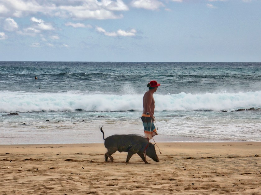 This pig, when younger, was a star in surfing videos on YouTube, we were told