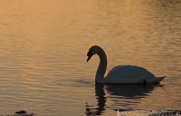vineyard weddings, swan sunset