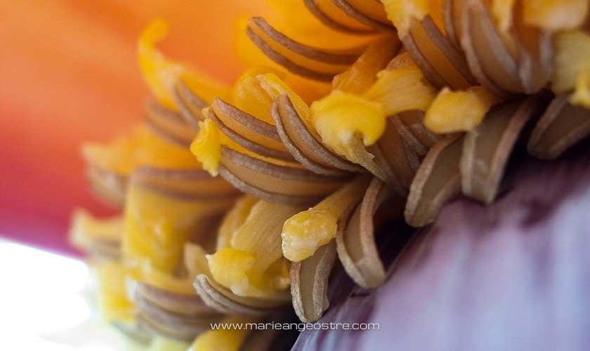Guadeloupe, pistil de fleur de bananier © Marie-Ange Ostré