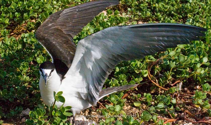Oiseaux des Marquises, sterne cendrée sur l'île d'Ua Huka © Marie-Ange Ostré