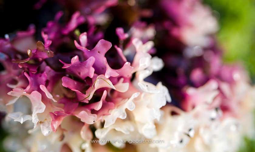 Islande, algue rose de l'Atlantique Nord © Marie-Ange Ostré
