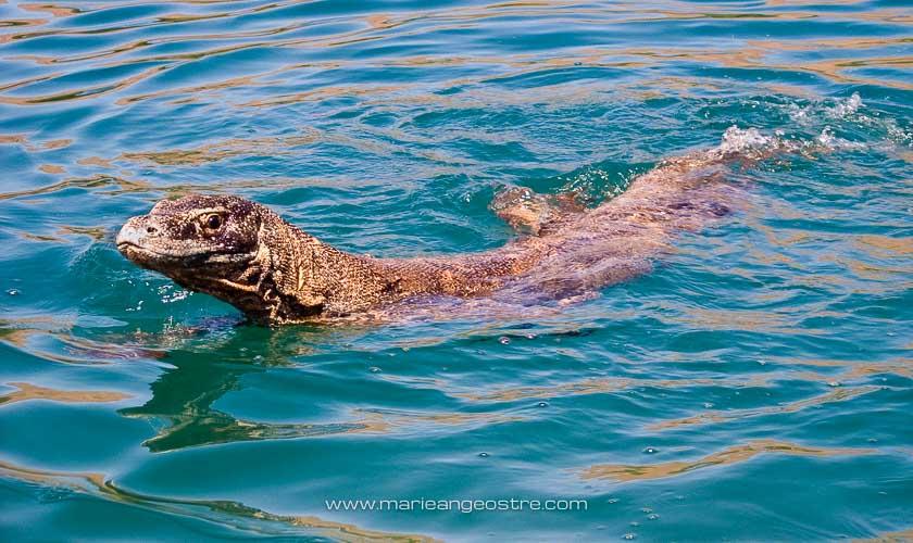 Indonésie, dragon de Komodo dans l'eau © Marie-Ange Ostré