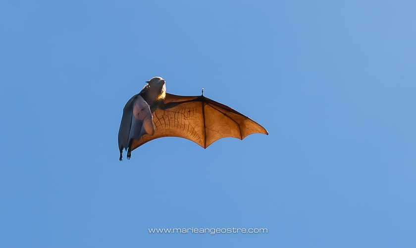 Australie, chauves-souris (flying-fox) de Sydney © Marie-Ange Ostré