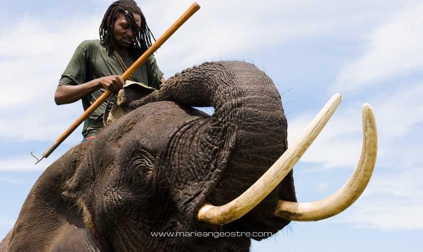 Botswana, éléphant et son gardien dans l'Okavango © Marie-Ange Ostré