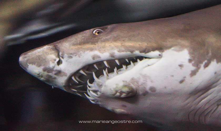 Grand requin blanc, aquarium Dubai Mall © Marie-Ange Ostré