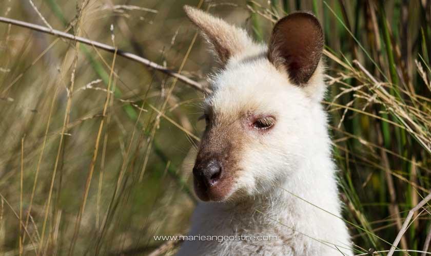 Australie, wallaby blanc photographié en Tasmanie © Marie-Ange Ostré