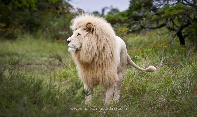Afrique du Sud, lion blanc © Marie-Ange Ostré