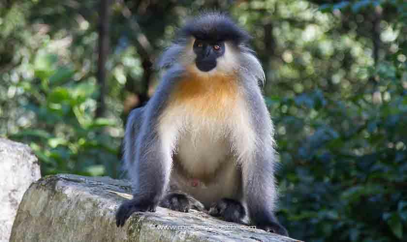 Bhoutan, singe rare Langur doré ©Marie-Ange Ostré