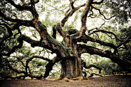 1400 Year Old Live Oak, South Carolina