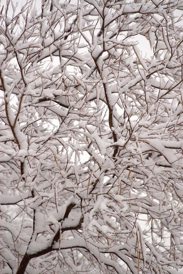 snow-covered tree limbs