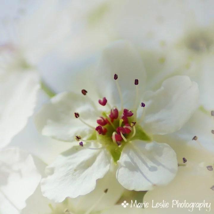 Sweet Pear Blossom