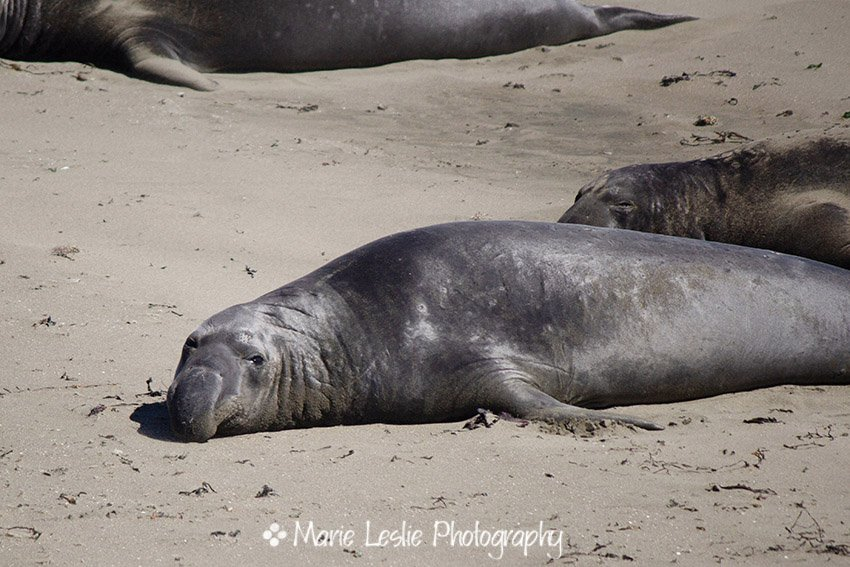 Elephant Seal on the beach in California