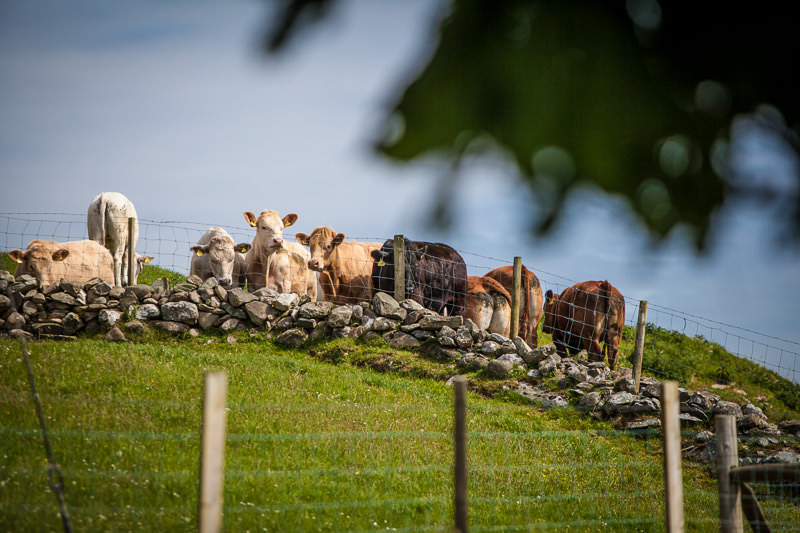 Cows look on at the wedding party at a North Wales wedding!