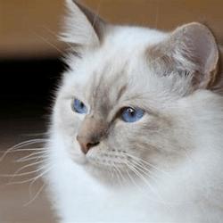 Wittekat