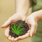 Soil in Hands with Cannabis Leaf