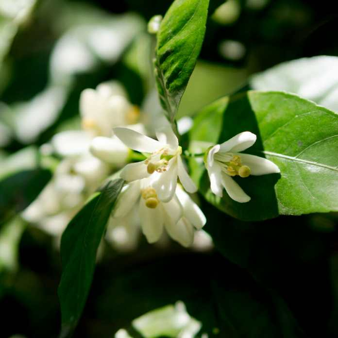 The terpene, Ocimene, is found in the flowers of the Citrus Unshiu plant.