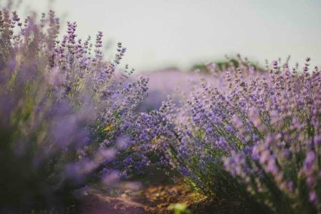terpenes in lavender