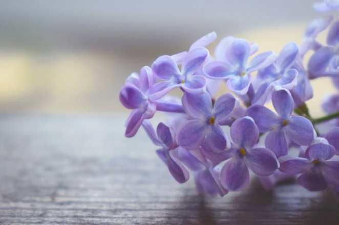 terpenes in lilacs