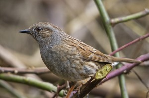 Archive: Dunnock - Hedge sparrow