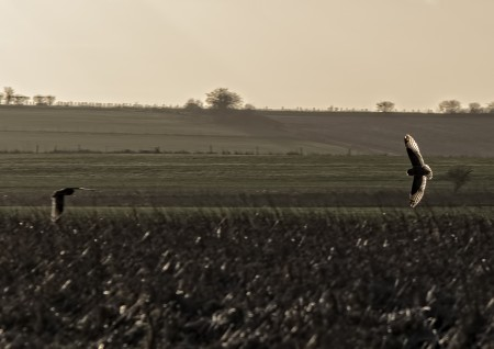 Two Short eared Owl silhouttes