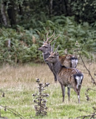 Sika Stags