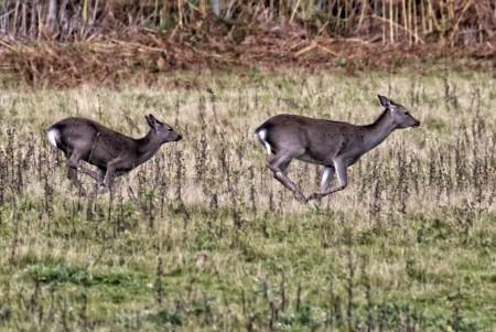 Running hinds