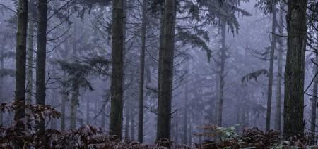 Okeford Hill rain and mist - Conifer trees
