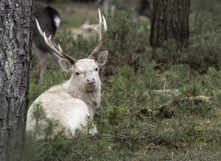 White Sika stag