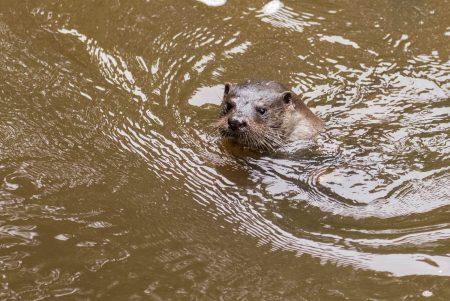 Otter-11