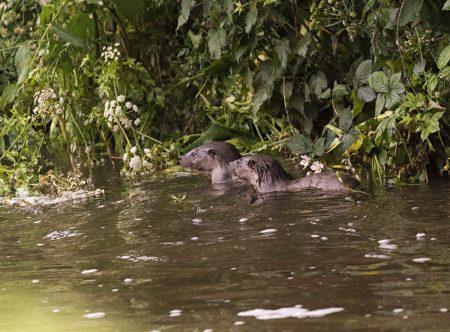 Otter-3