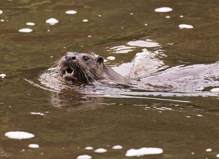 Otter-7