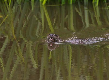 Otter-srgb